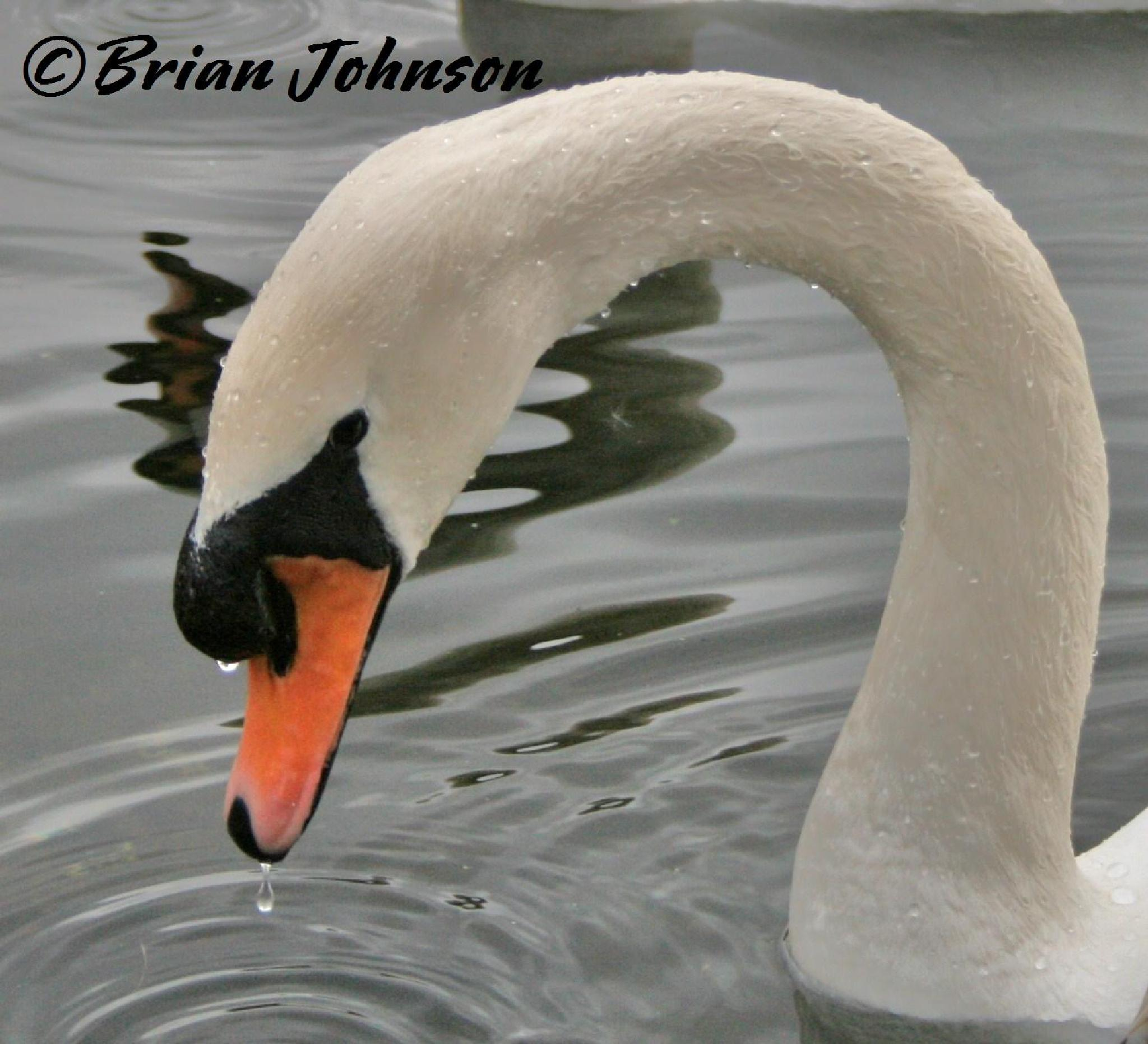 Mute Swan by Brian Johnson