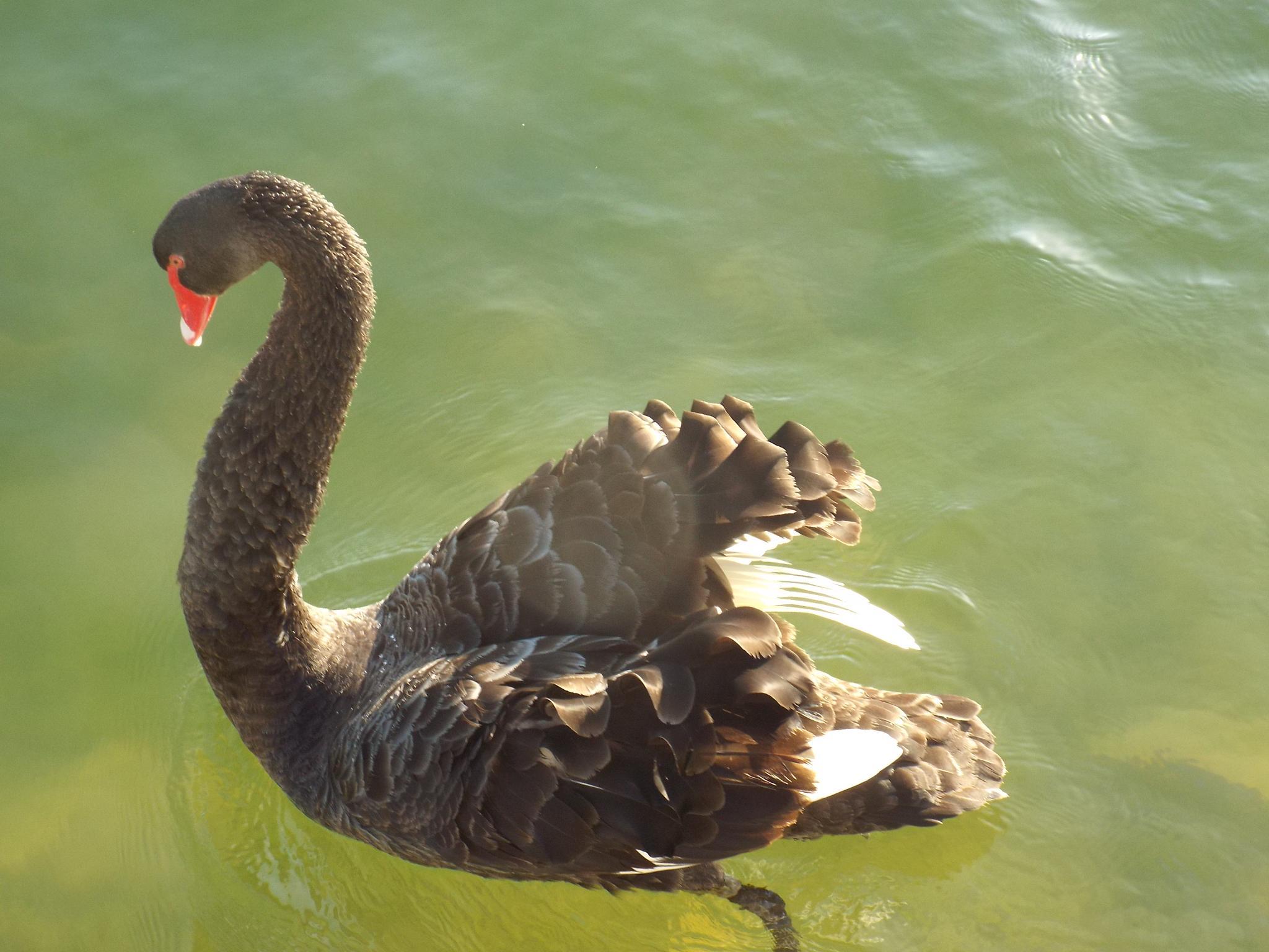 Black Swan by Brian Johnson