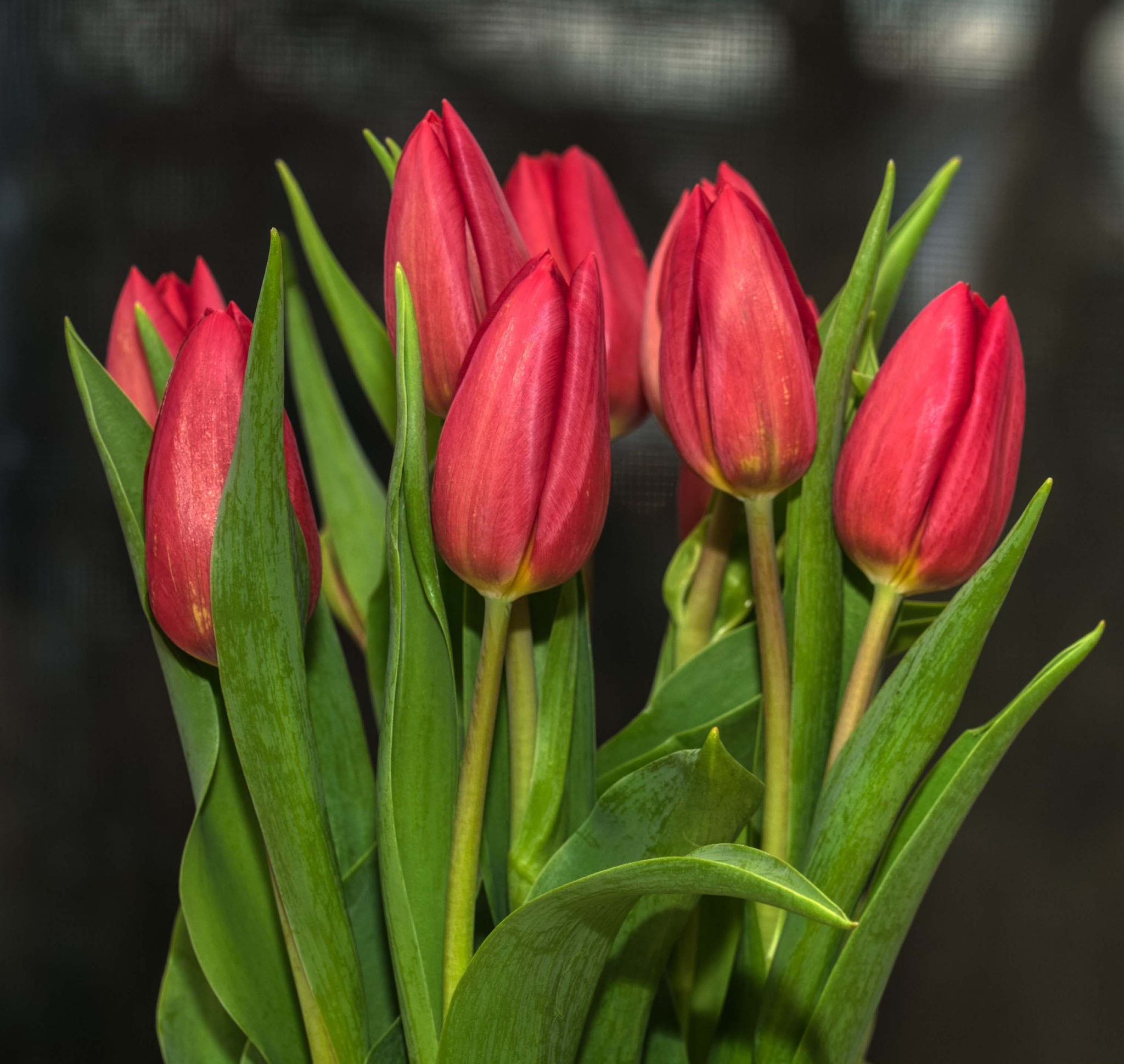 tulips by Dan McGovern