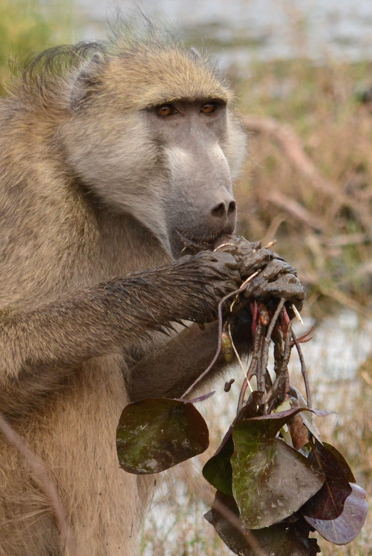 Baboon foraging by Sue Keast