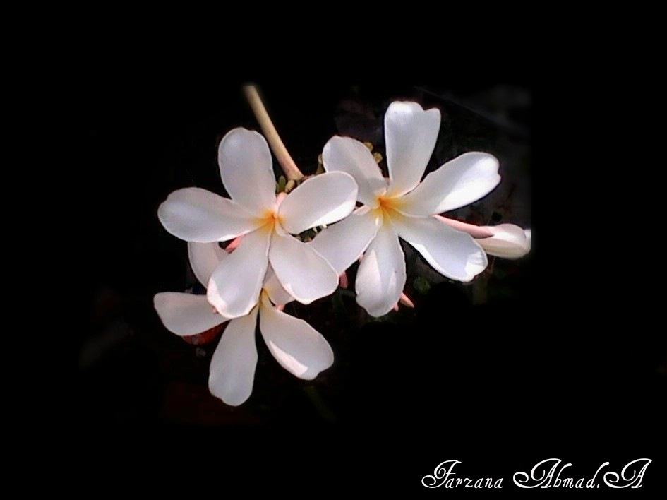 Plumeria ....... by Farzana Ahmad