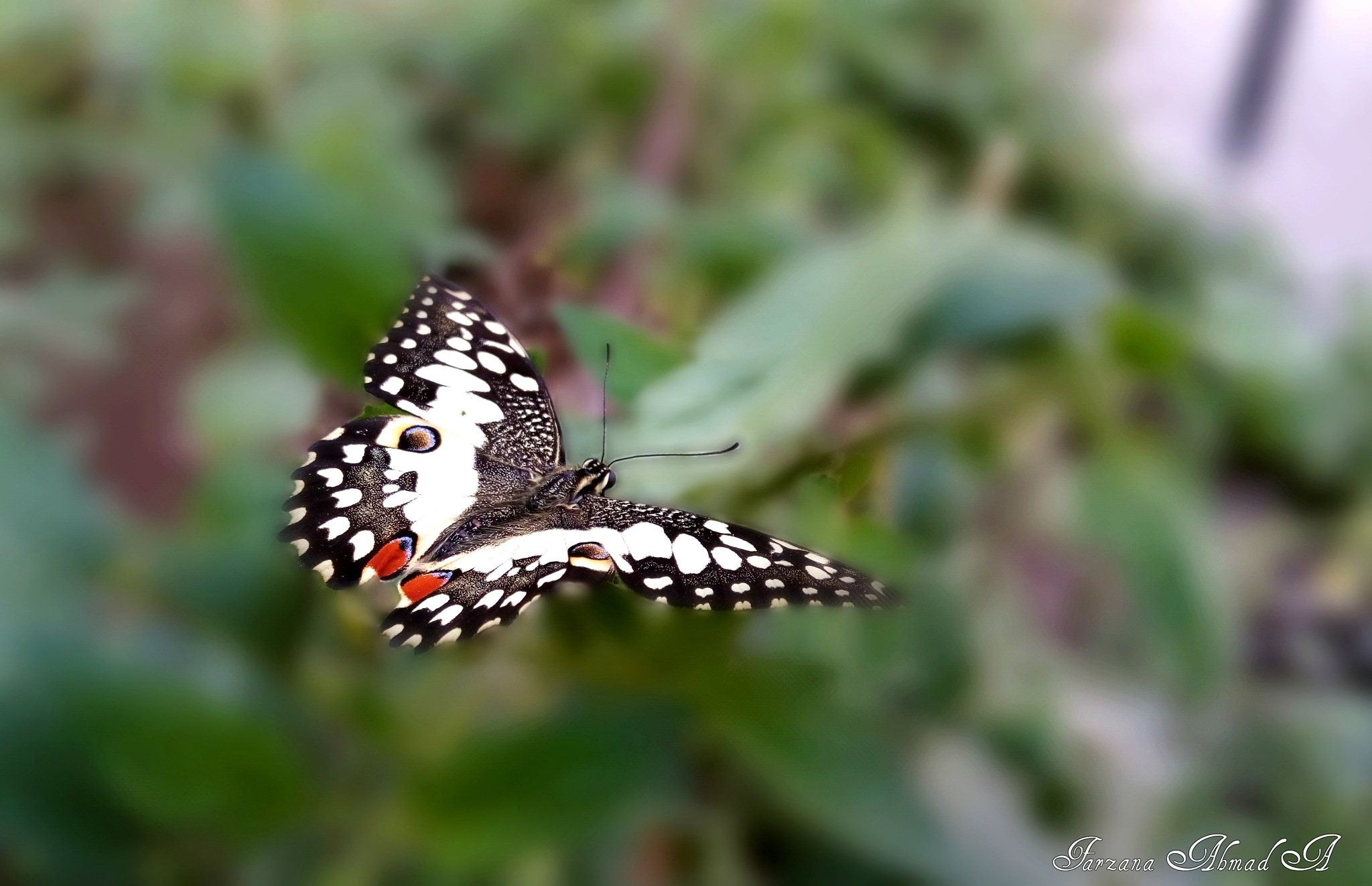 Butterfly ....... by Farzana Ahmad