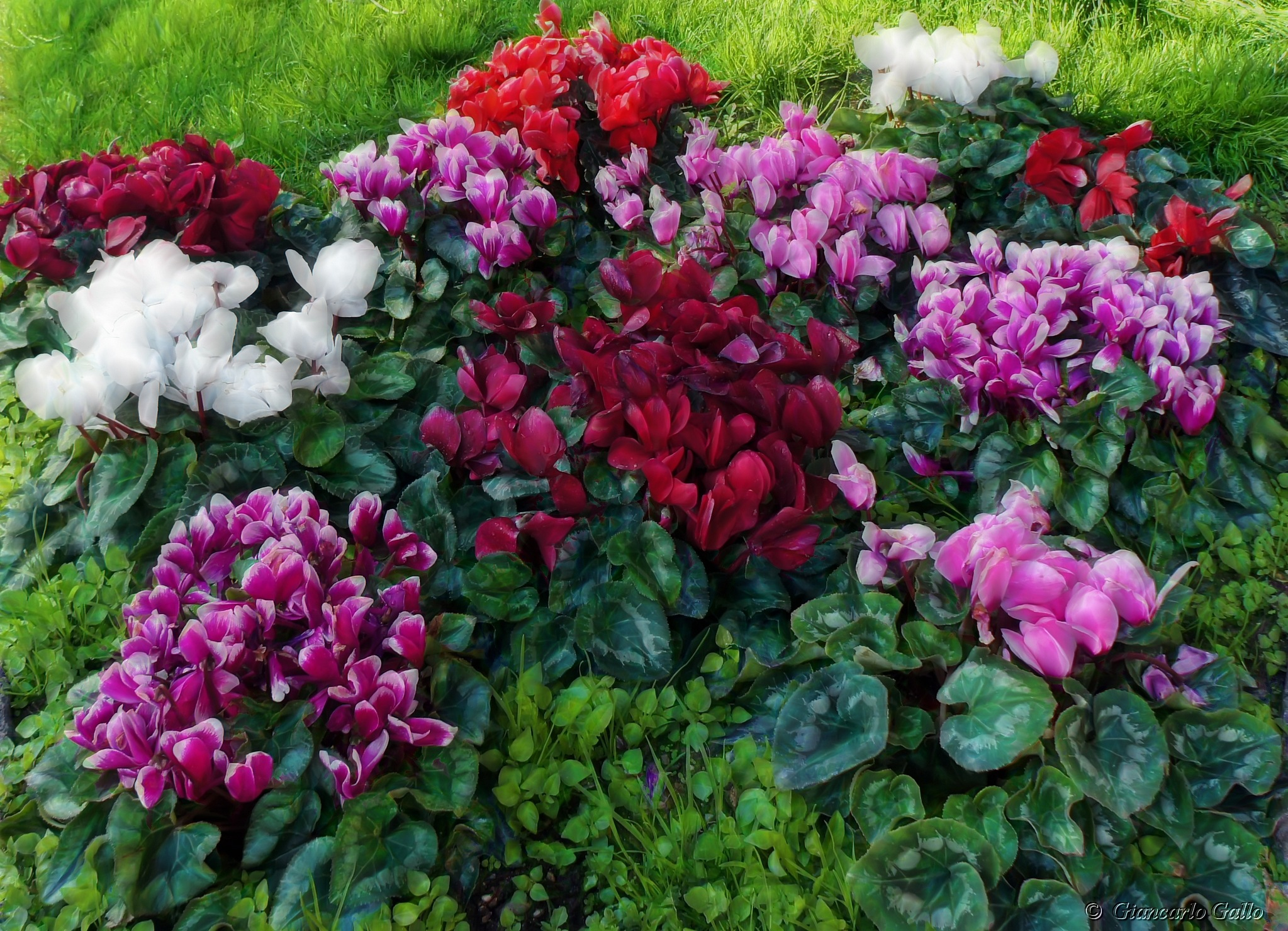 Group of cyclamen by Giancarlo Gallo