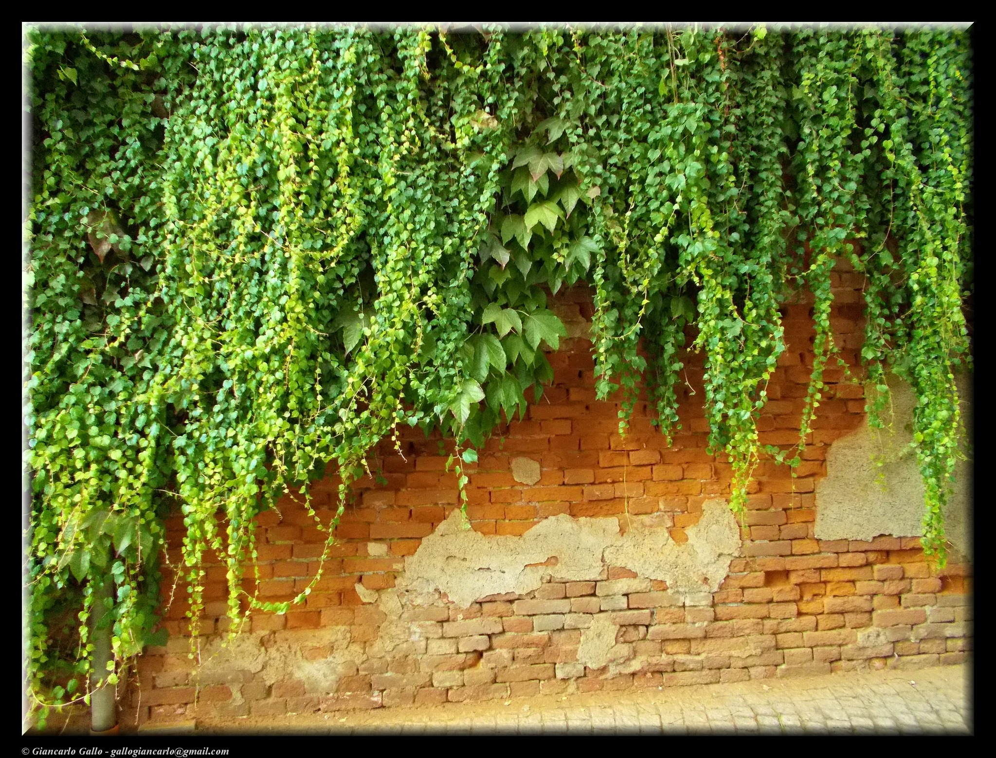 Ivy on the wall by Giancarlo Gallo