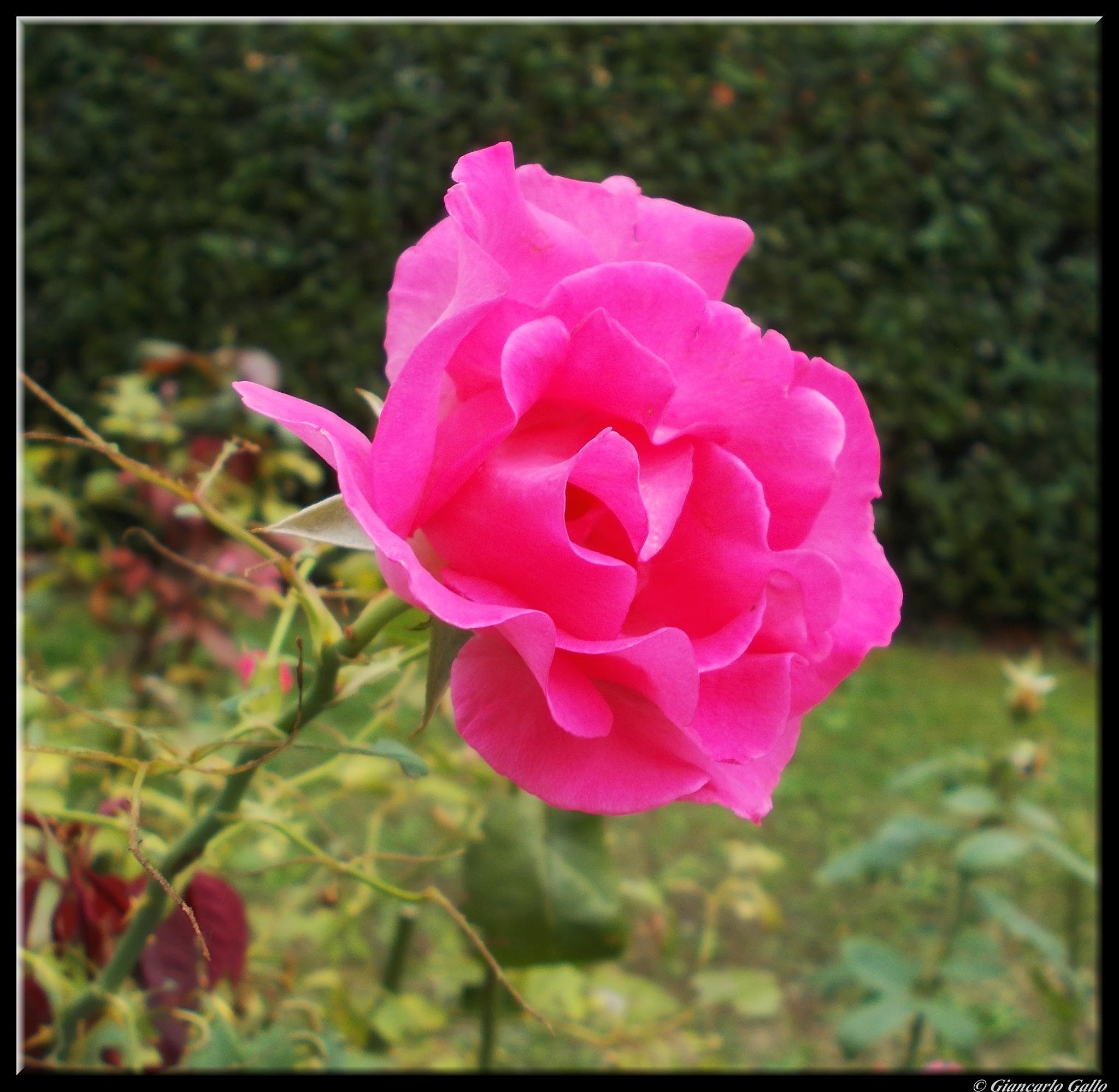 Autumn rose by Giancarlo Gallo