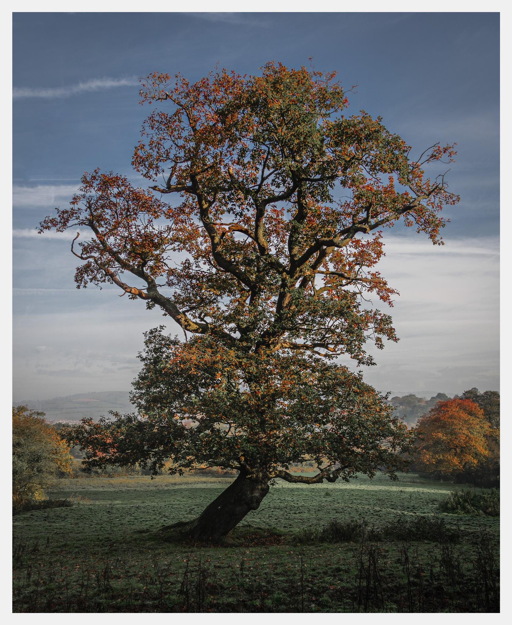 Autumn Oak by Martin Roberts