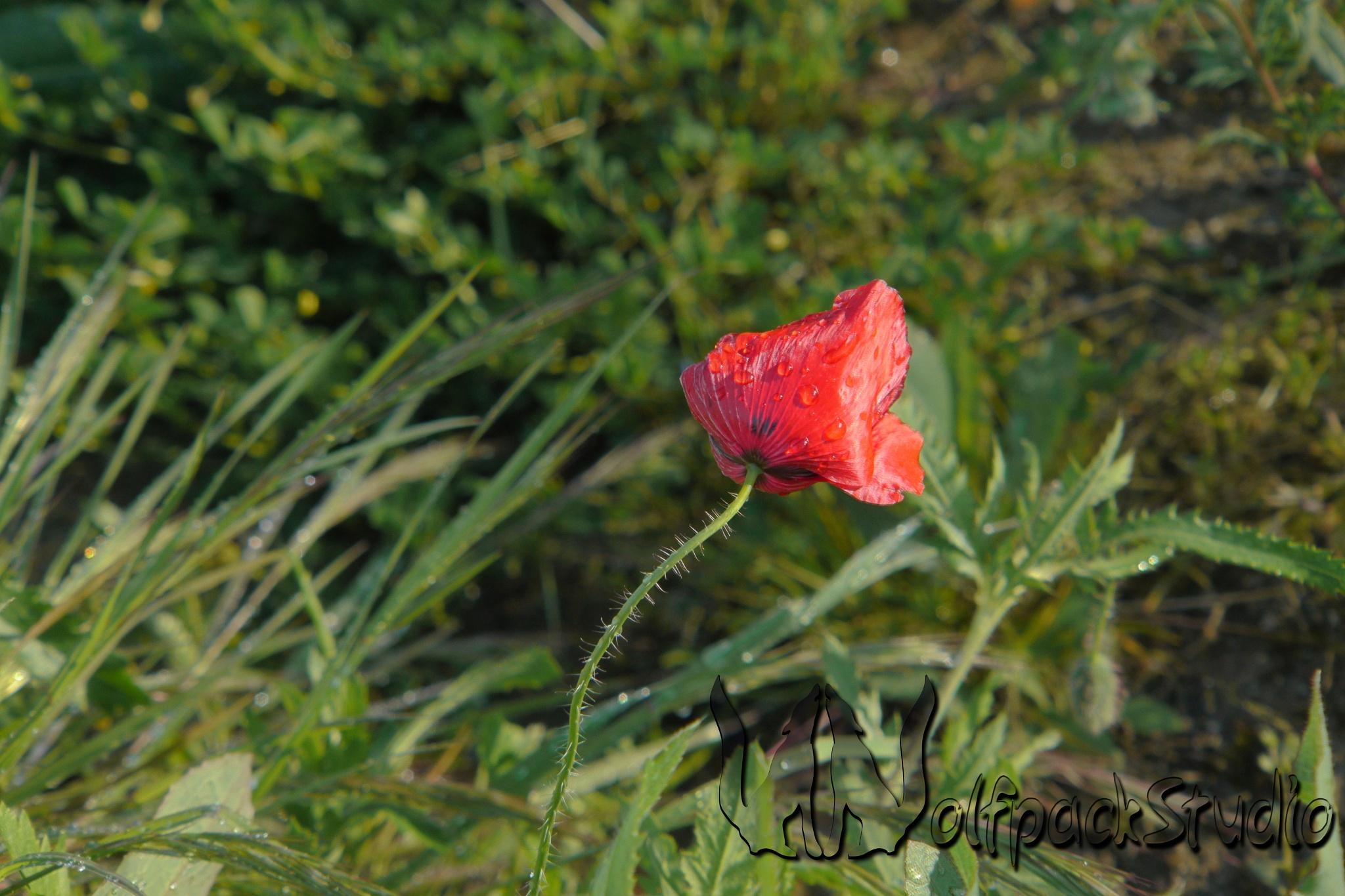 Poppy after rain by Ivan Lobo