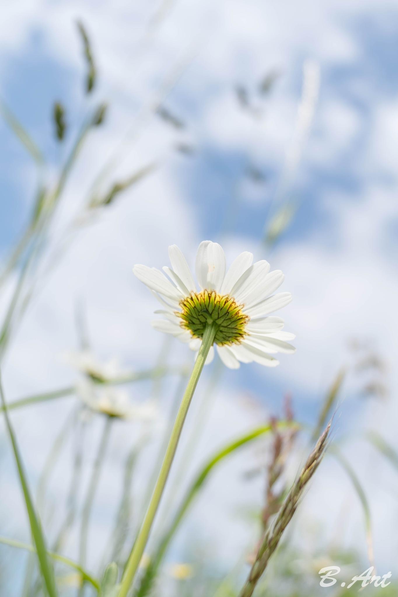 daisy... by Bart van Reeth