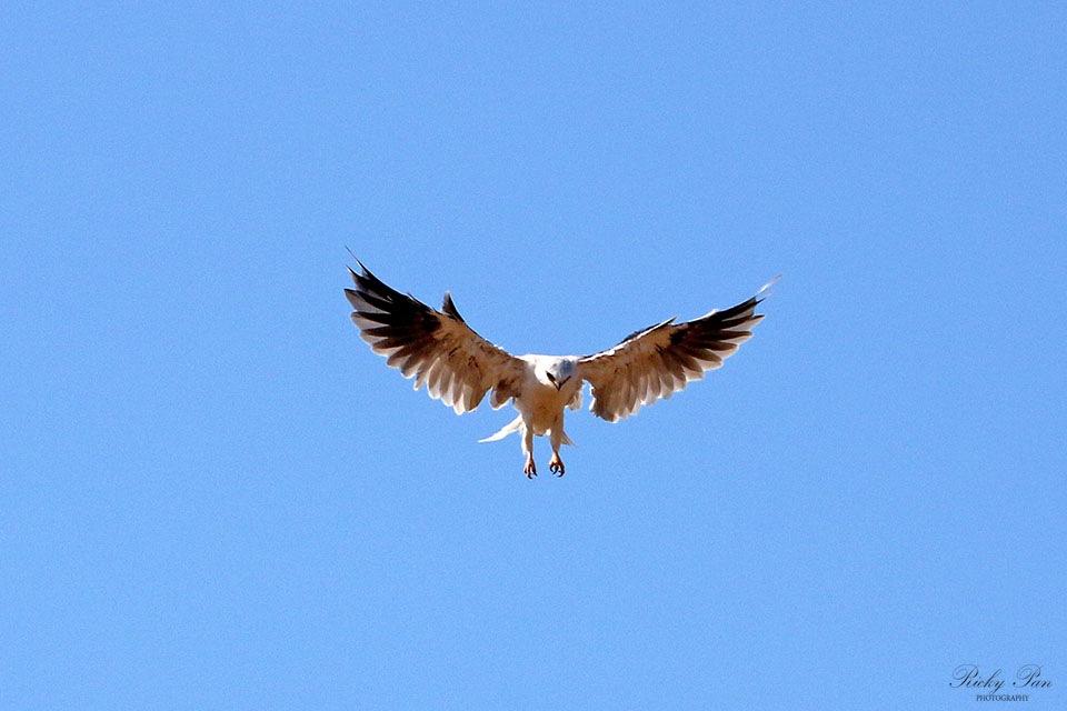 Kite in hunt by RickyPan