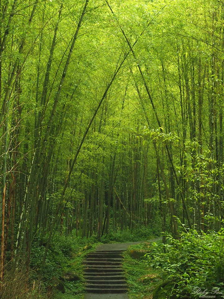 Bamboo Forest by RickyPan