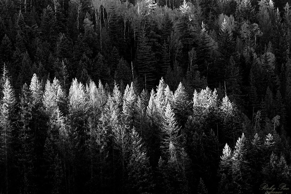 The Forest B&W by RickyPan