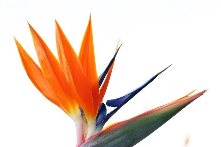 Bird of Paradise I by RickyPan