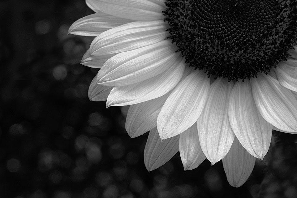 Sunflower by RickyPan