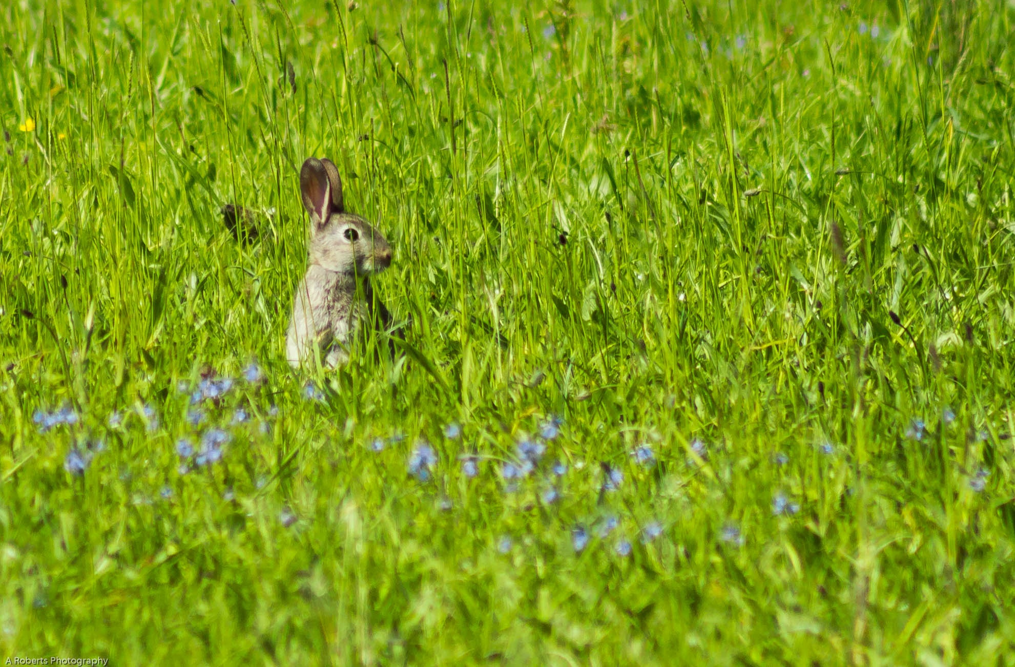 Photo in Nature #nature #wildlife #conies #rabbit #grass