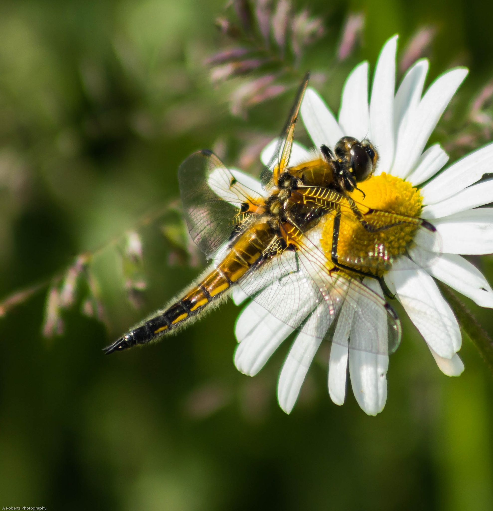4 spotted chaser by Andy Roberts