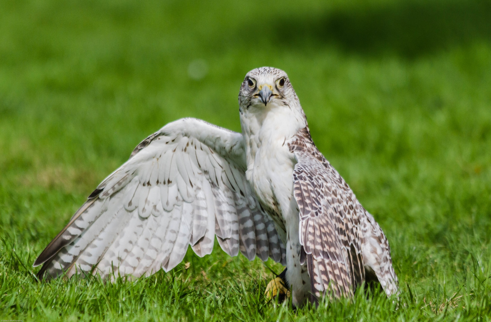 Gyr Falcon by Andy Roberts