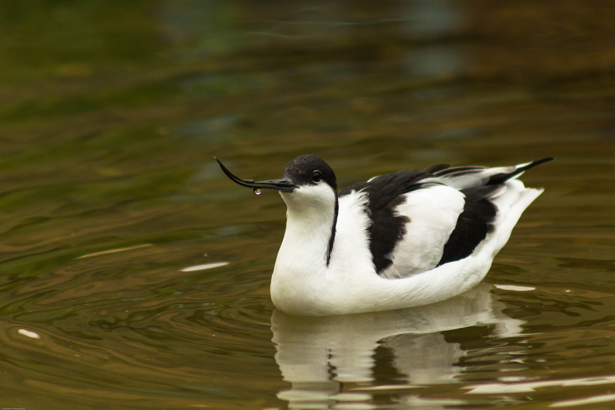 Avocet by Andy Roberts