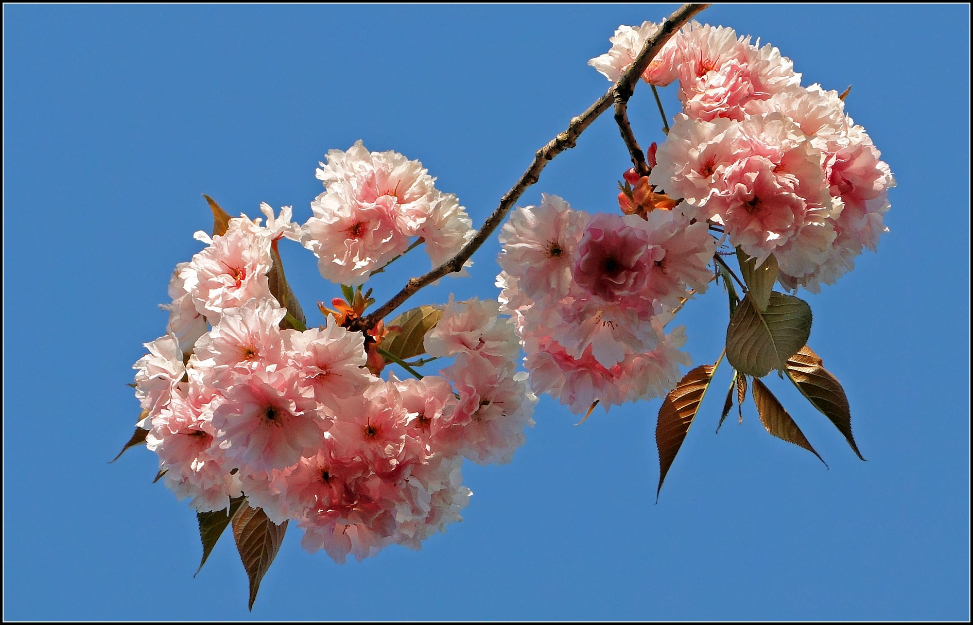 Cherry Tree by Daniel Everest