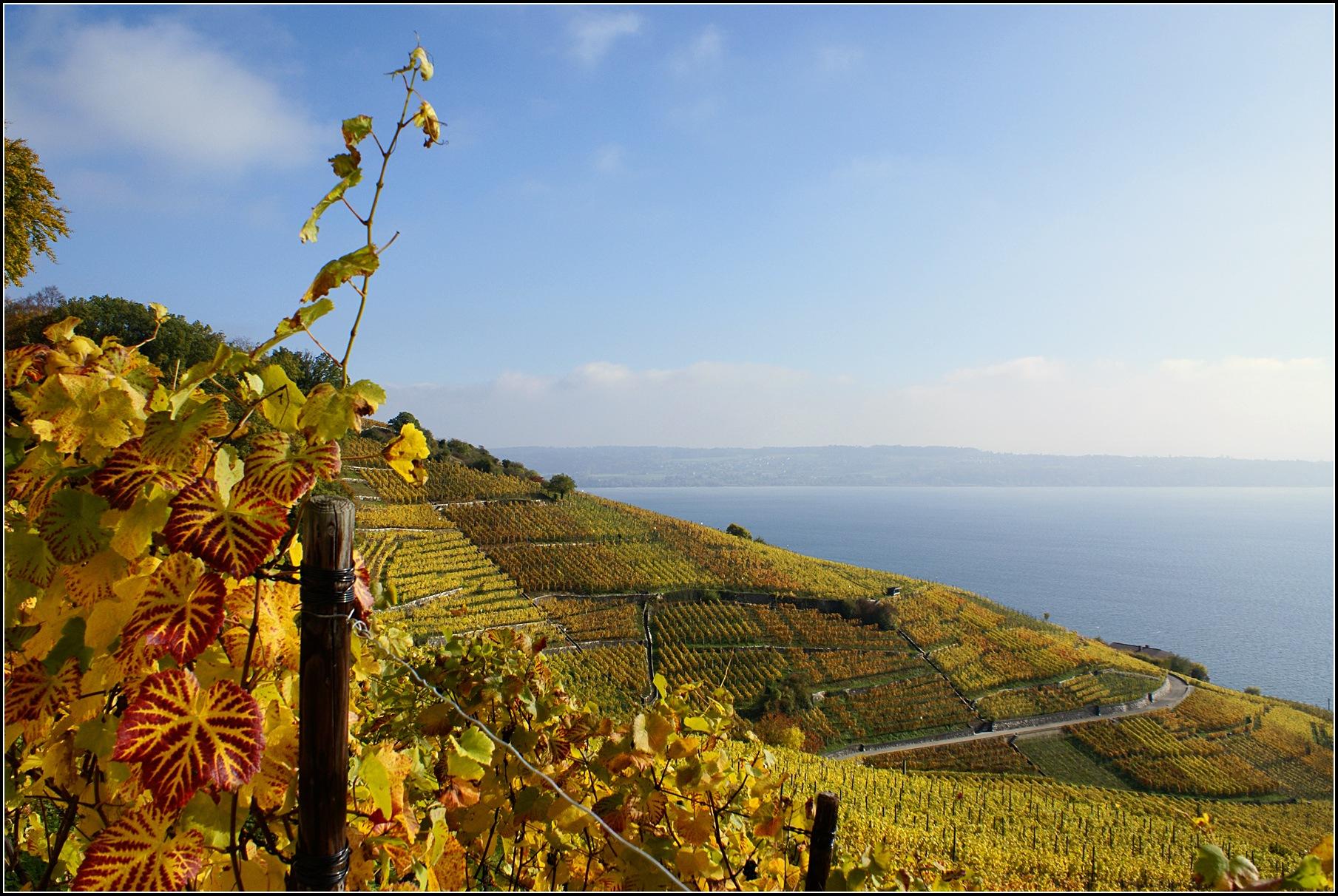 Vineyard in Switzerland by Daniel Everest