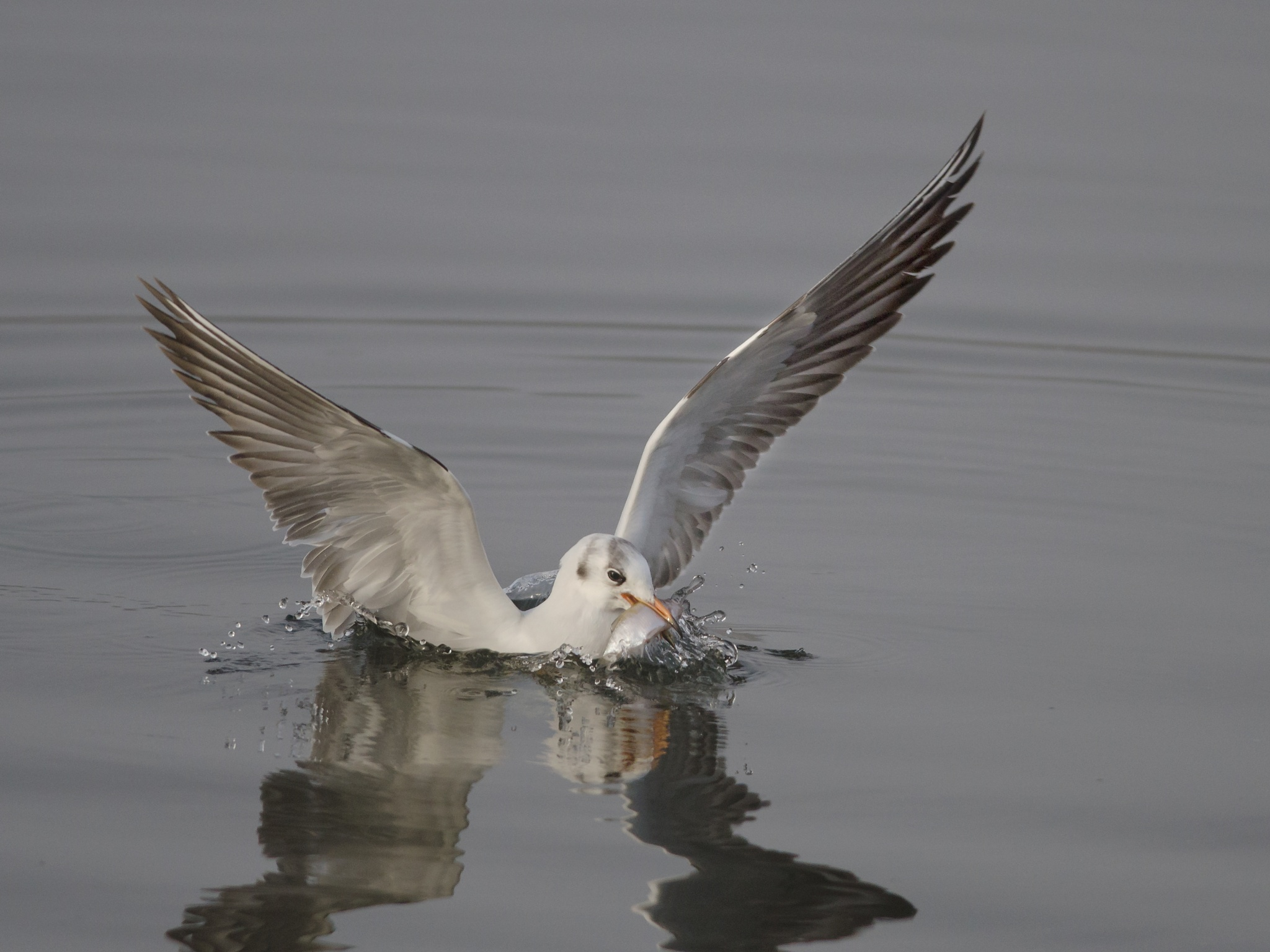 gull with catch by Paul Hudson