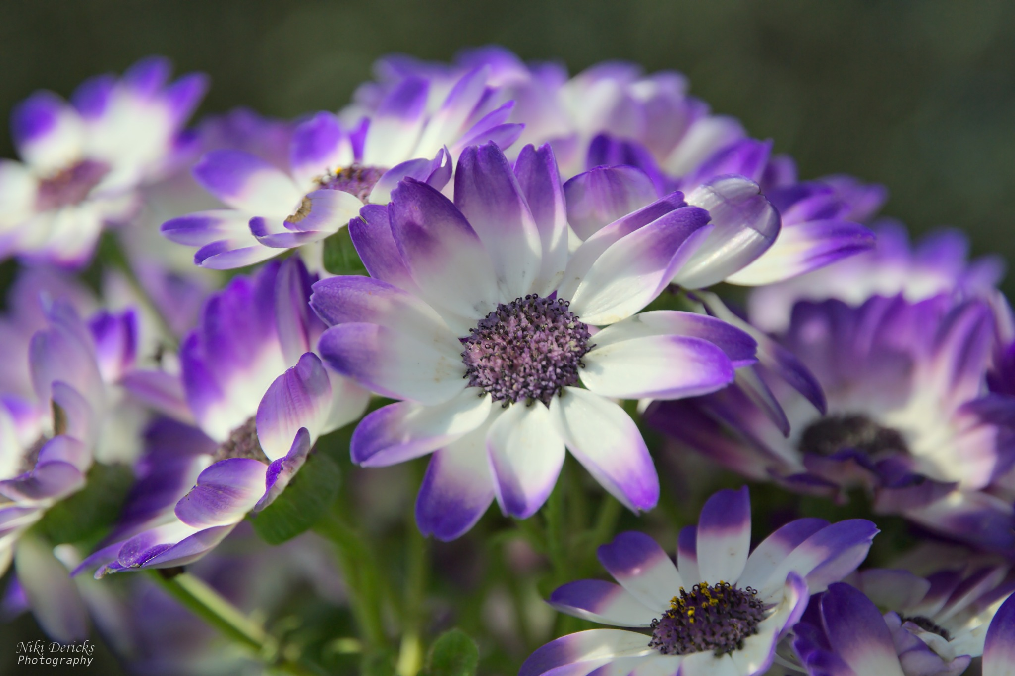 Blue flowers by Niki Dericks