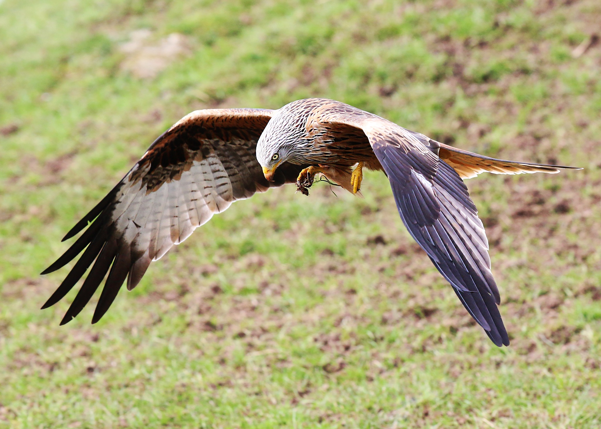 Red kite trying to grab food by Roland Rodgerson