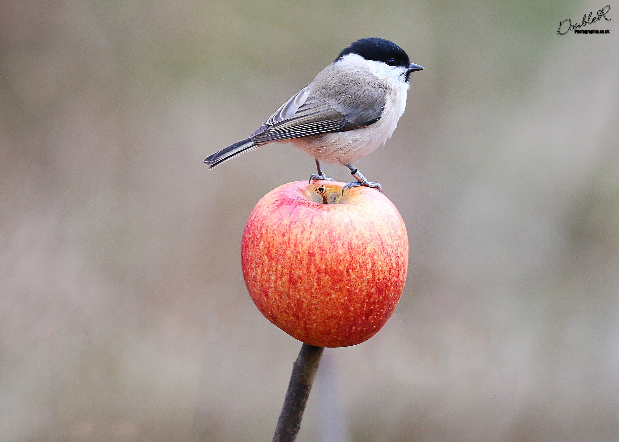 Marsh Tit and apple by Roland Rodgerson