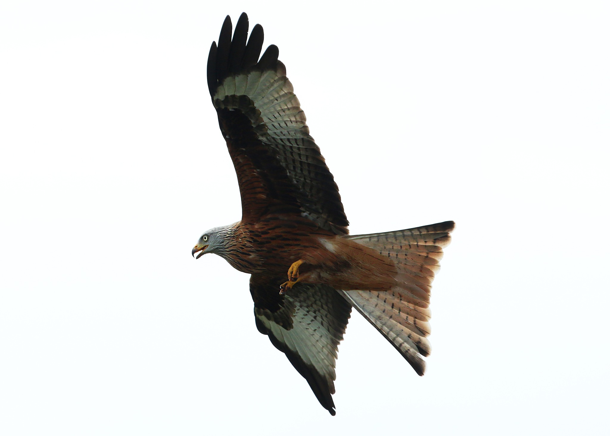 Red Kite by Roland Rodgerson