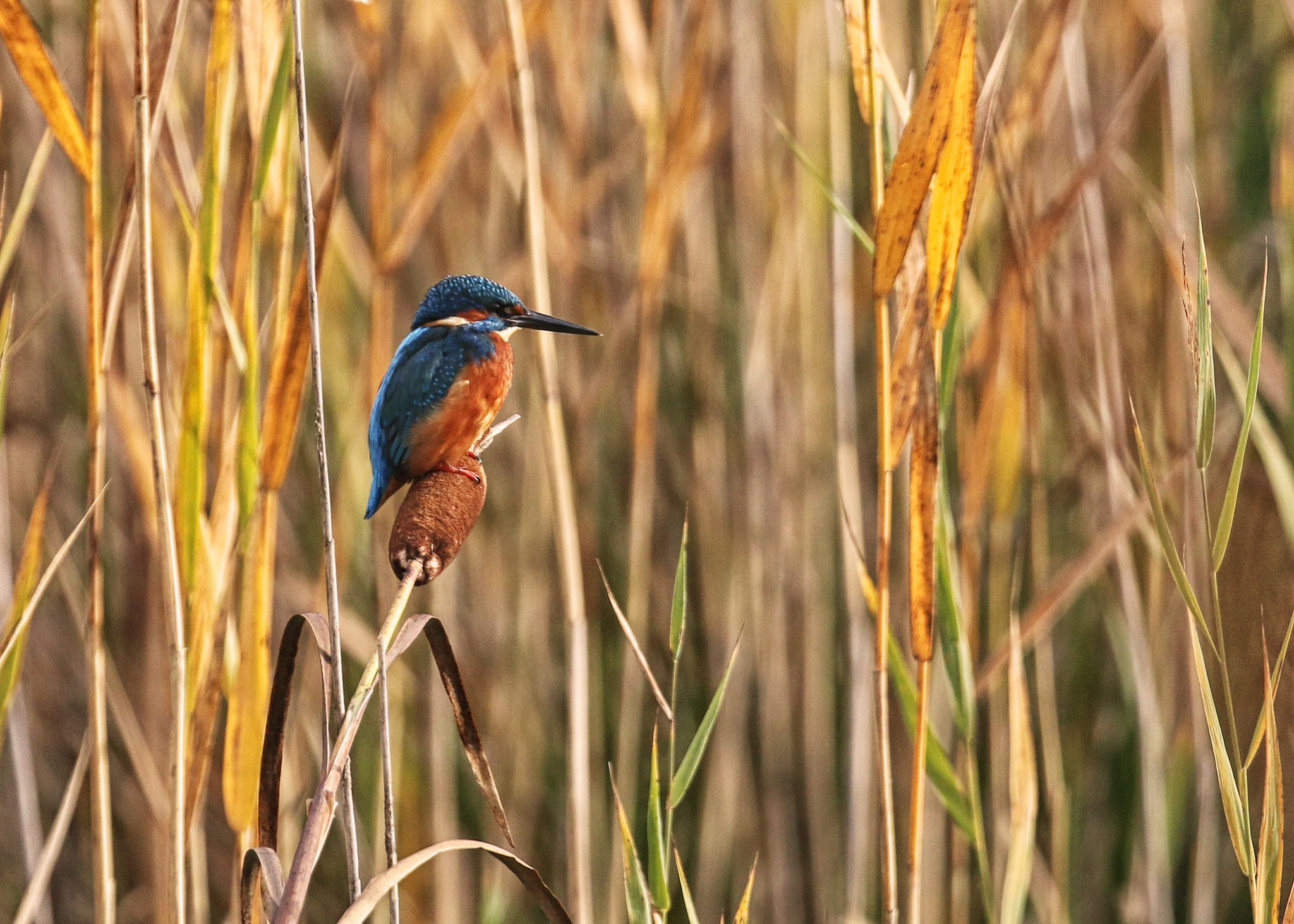 Kingfisher (male) on Bullrush by Roland Rodgerson