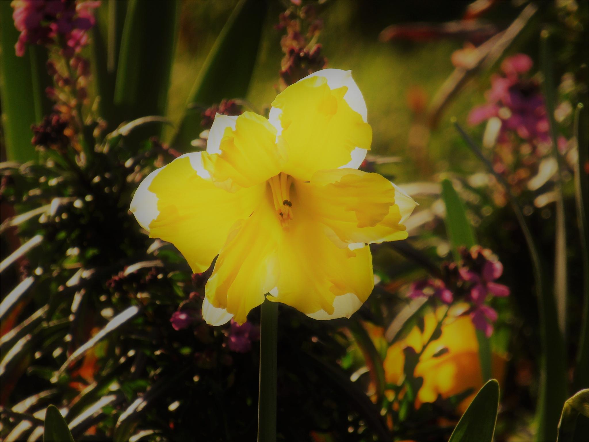 jonquille by vigilicatherine