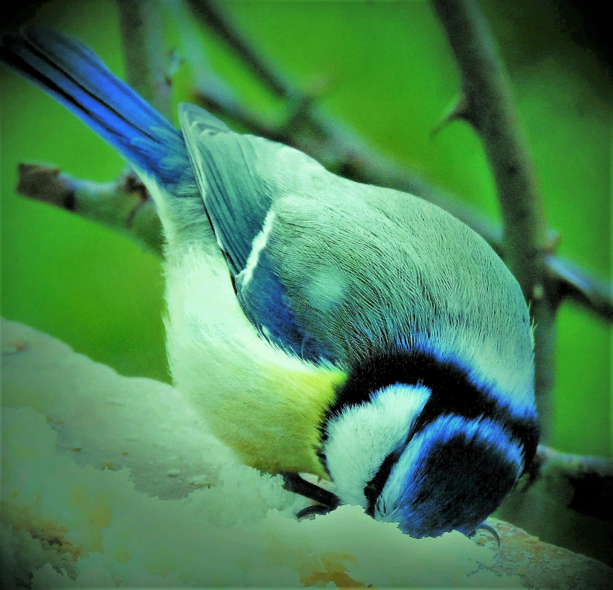 Mésange bleue by vigilicatherine