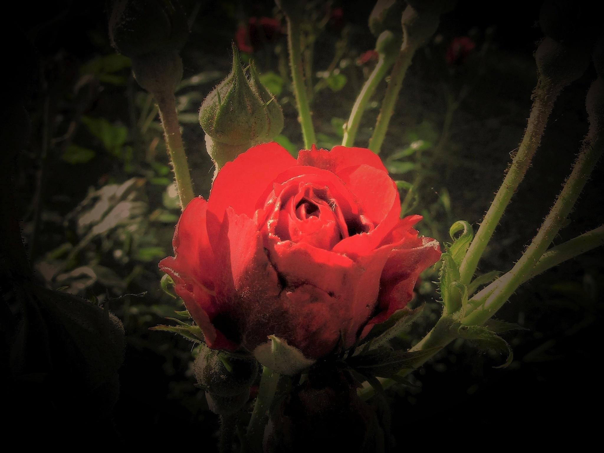C'est le temps que tu as perdu pour ta rose............ by vigilicatherine