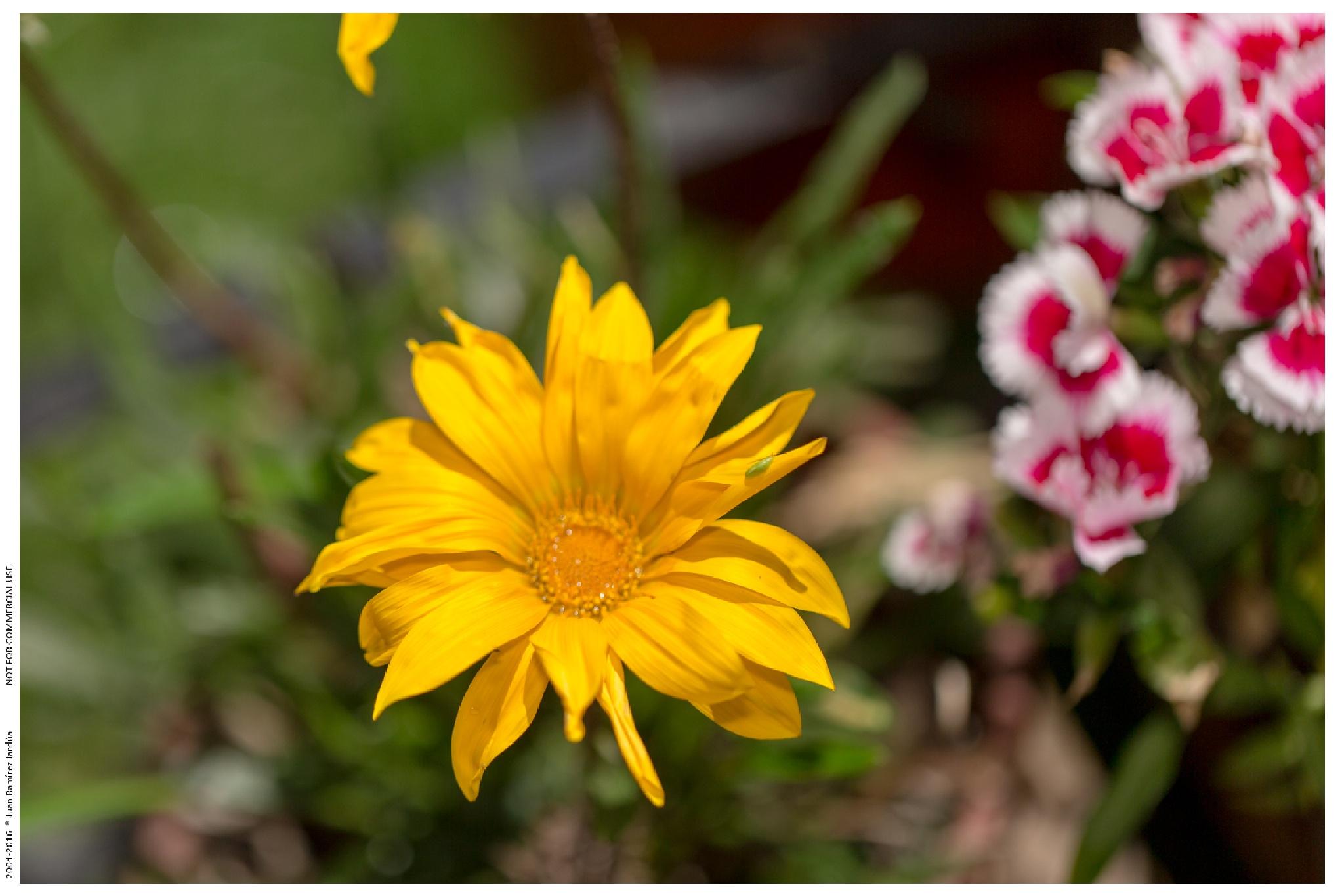Flowers from my garden. by juanramirezj