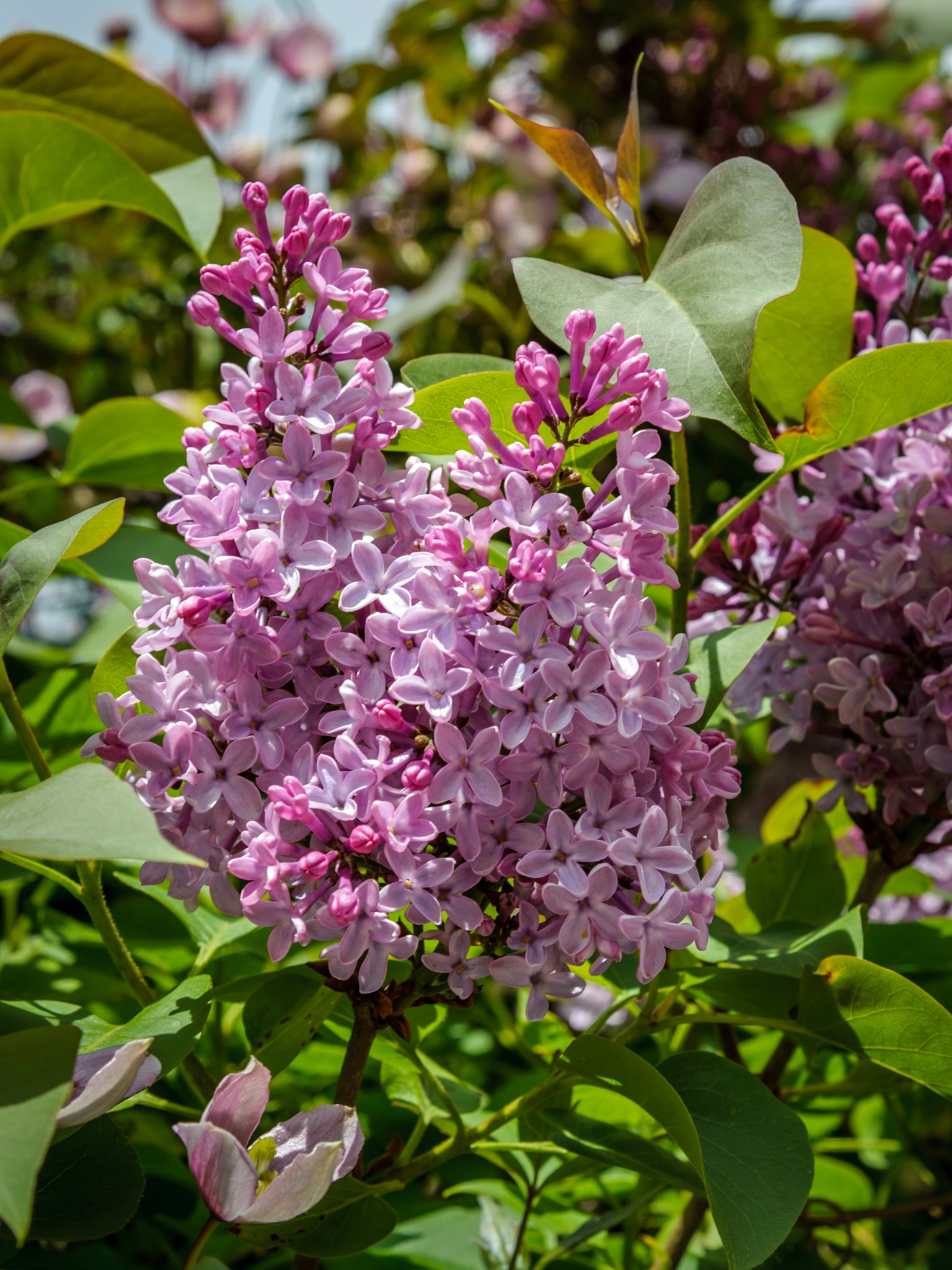 Lilac by Richard Poole