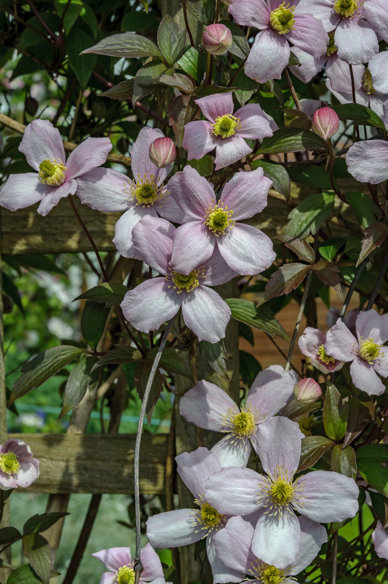 Clematis, Montanna by Richard Poole