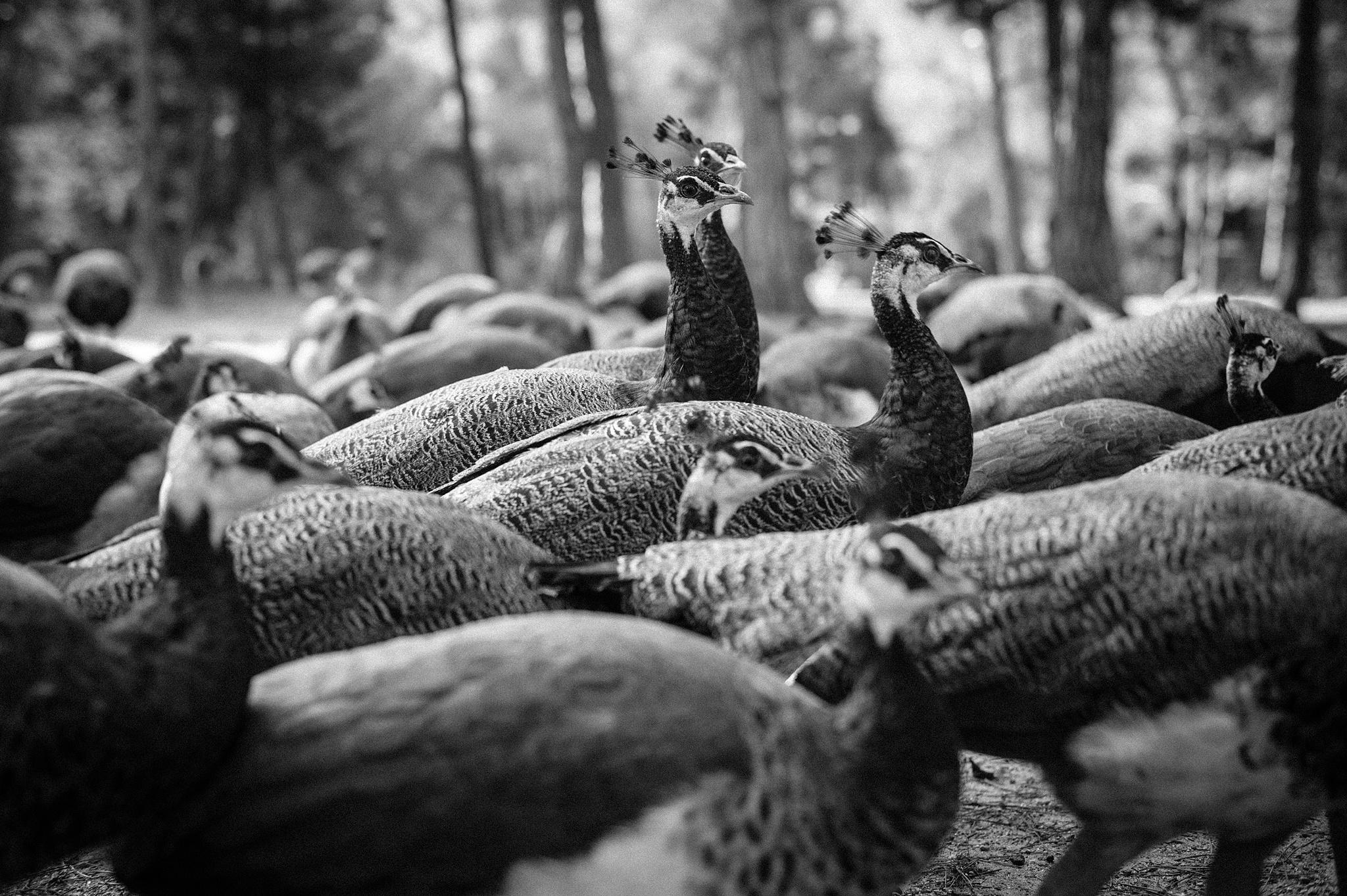 peafowl  by Vicky Pavlou