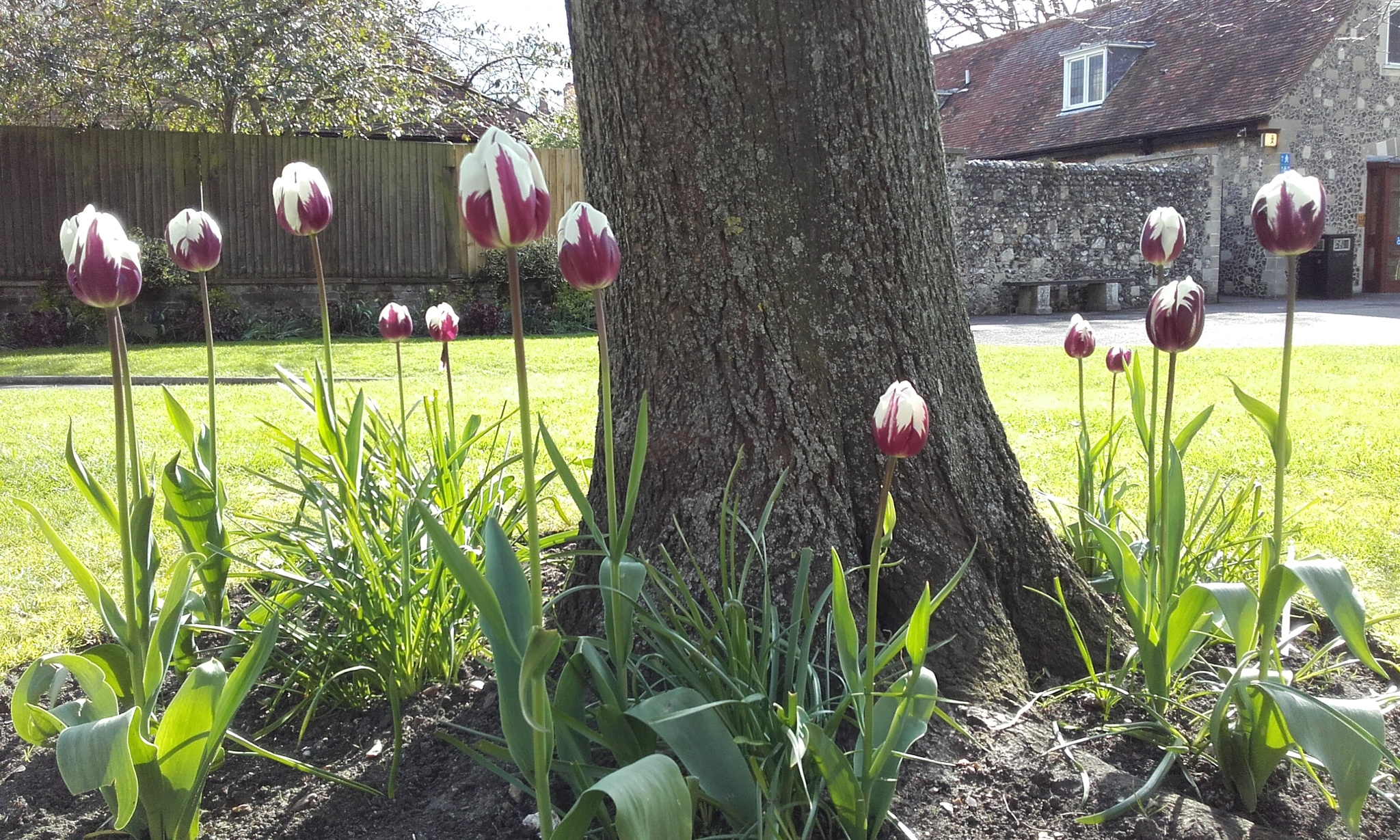 Purple and white tulips round tree in Canterbury by Janet McBride