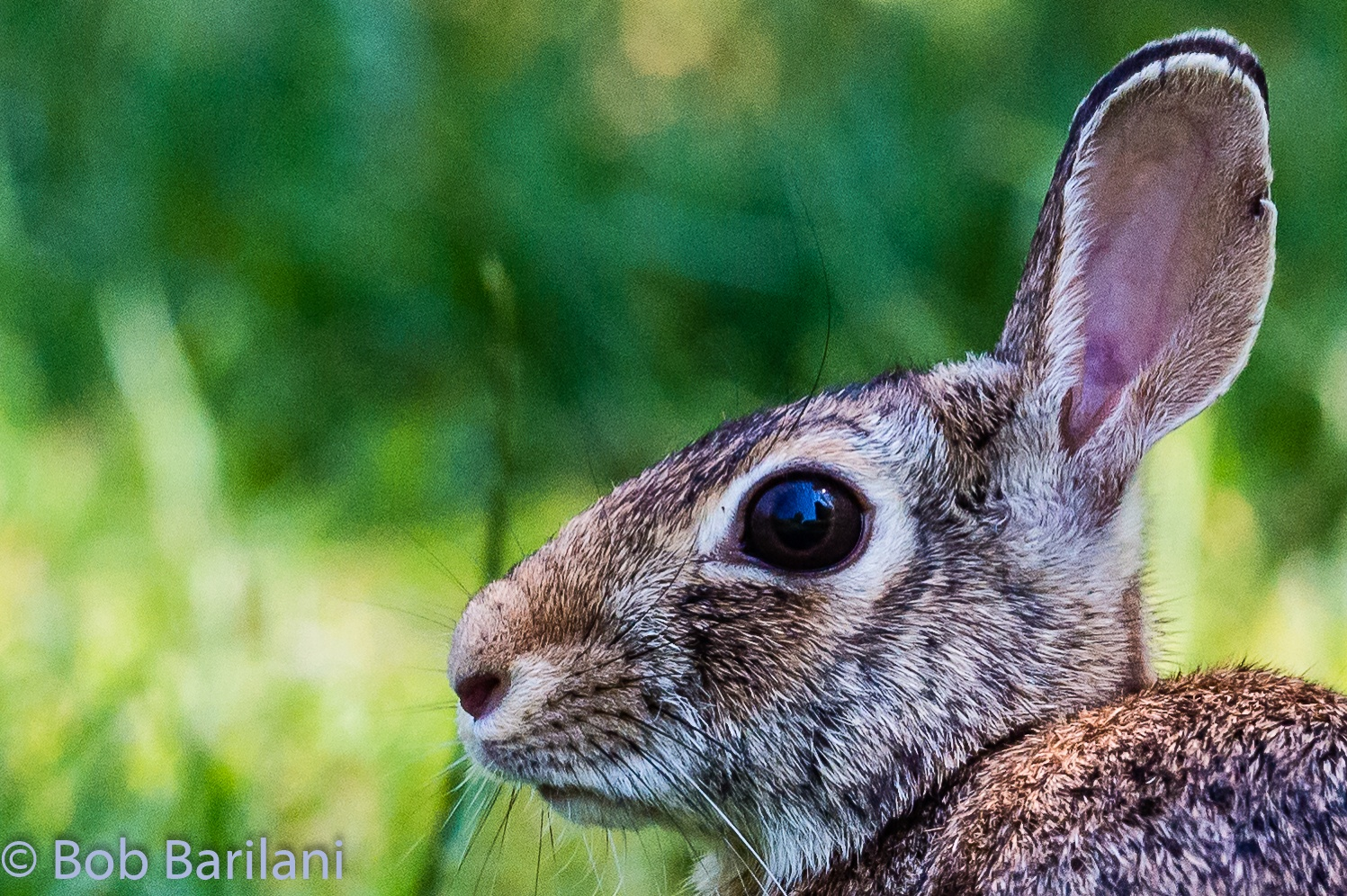 Eastern Cottontail Portrait - Full screen recommended by Roberto Barilani