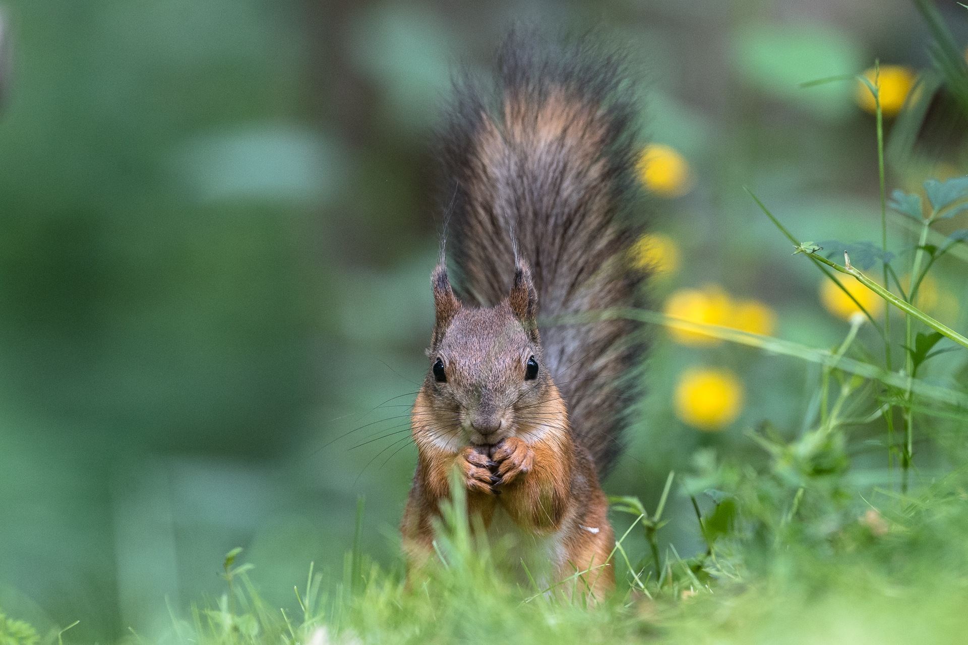 Red Squirrel by Roberto Barilani