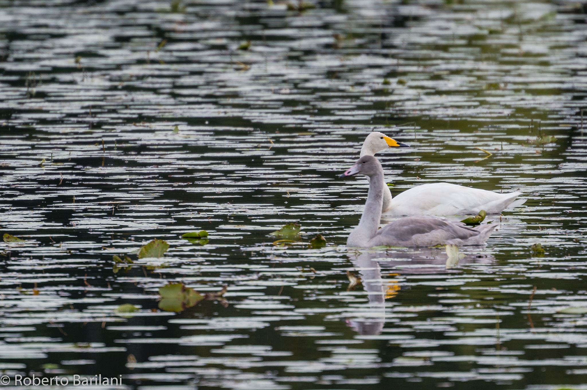 Whooper Swans - Full screen recommended by Roberto Barilani