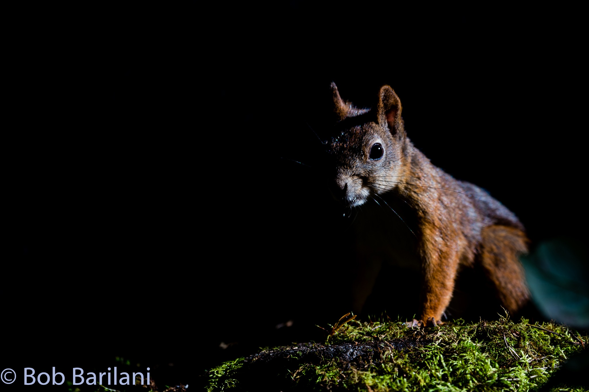 Red Squirrel - Full screen recommended by Roberto Barilani
