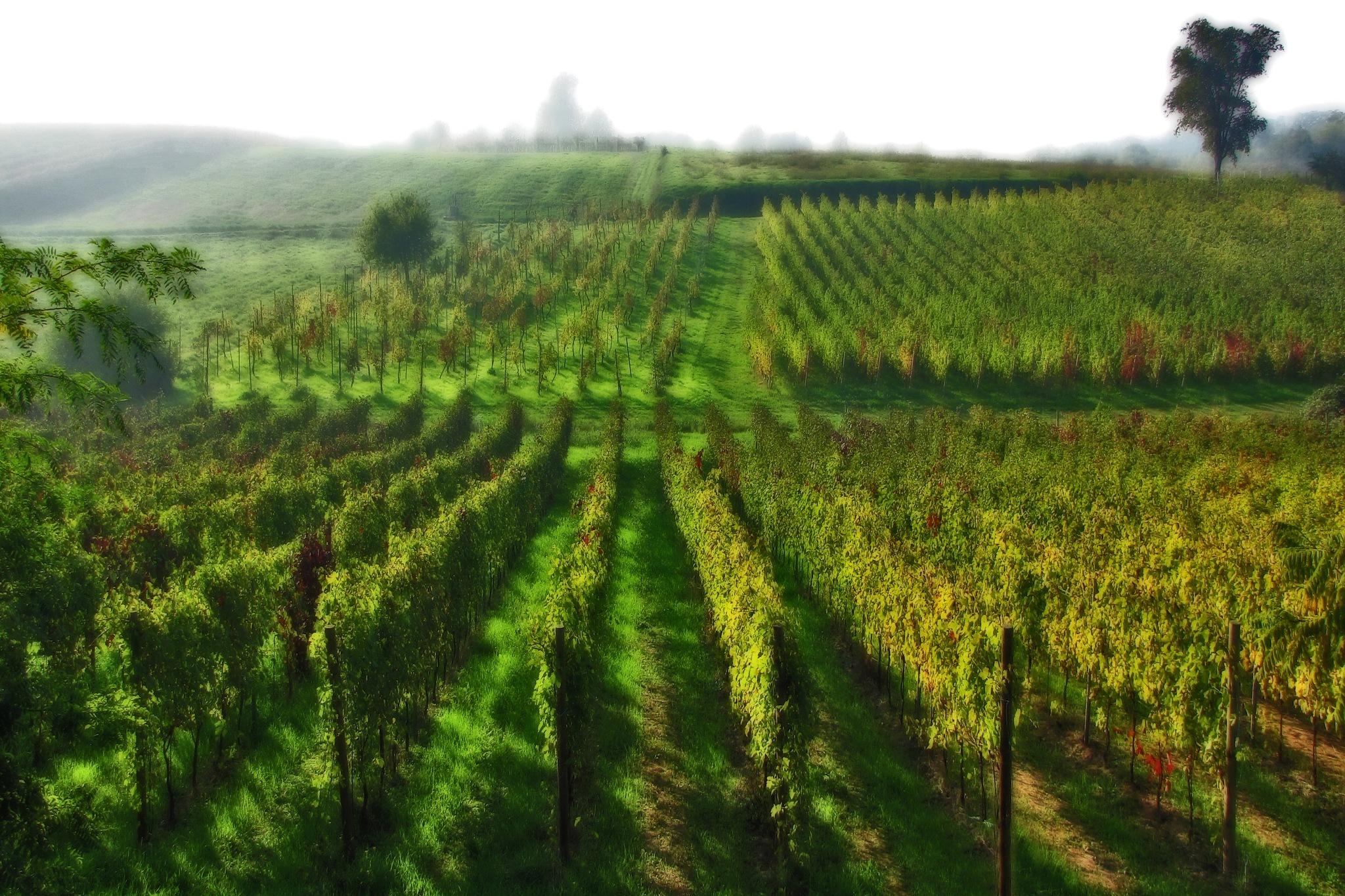 Vineyard by Pietro Sangalli