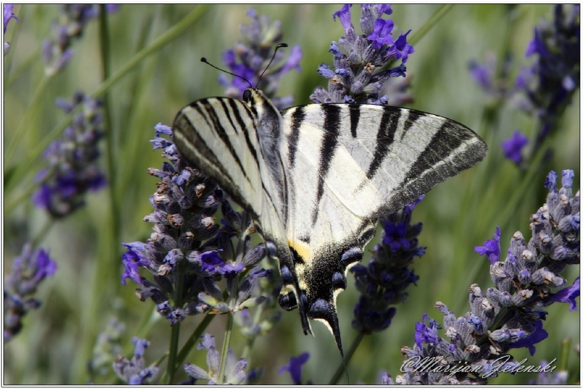 Lastin rep (lat. Papilio machaon) by Marijan Jelenski