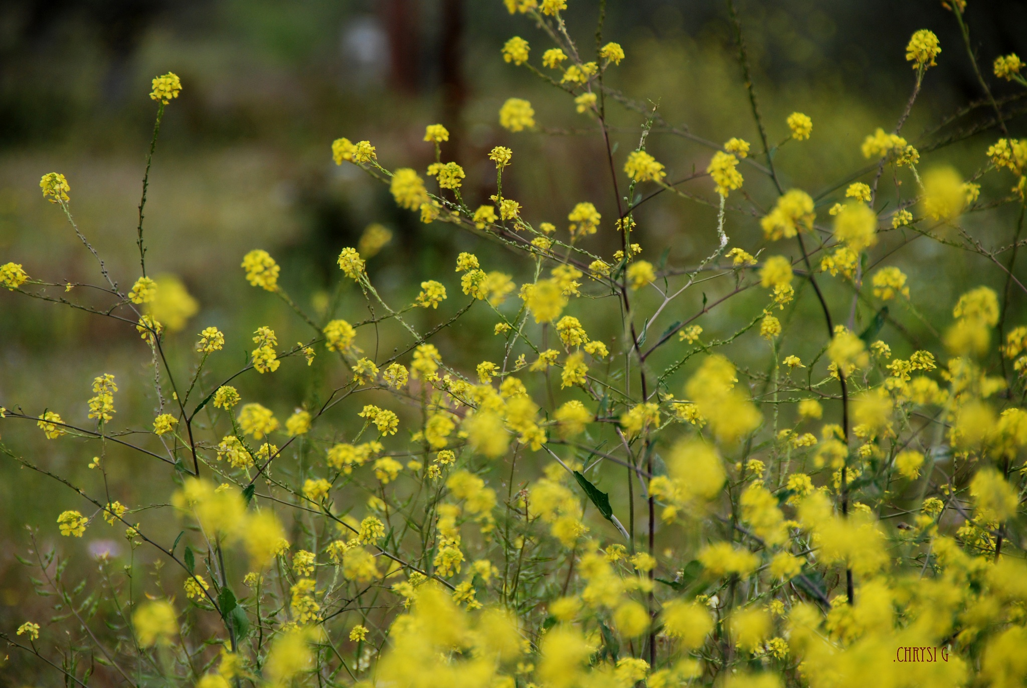 the meadow flowers by chrysallis