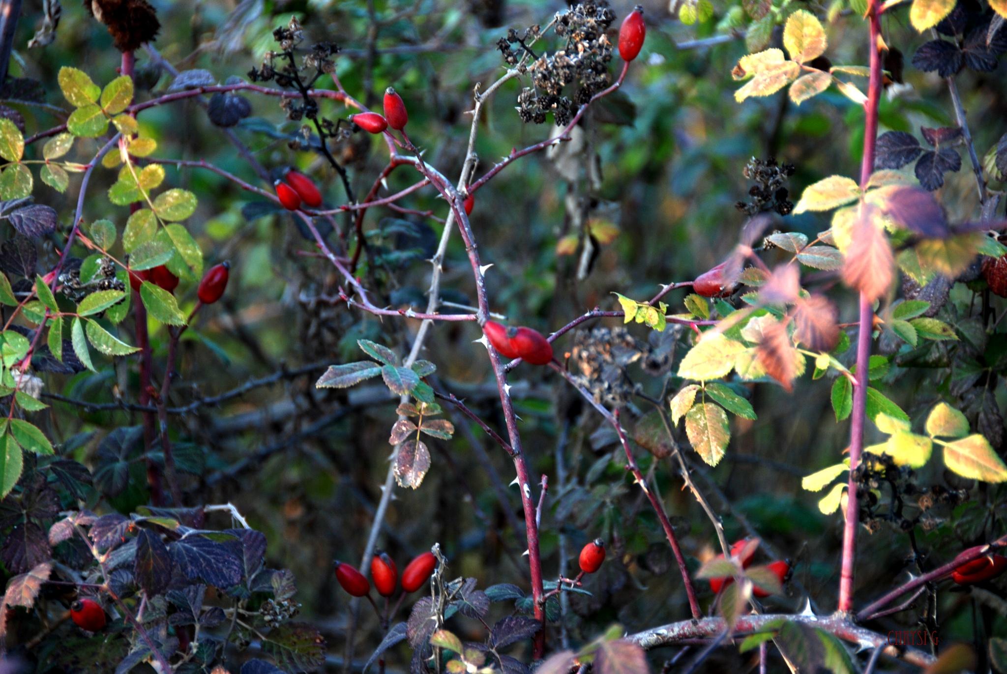 the wild bush by chrysallis