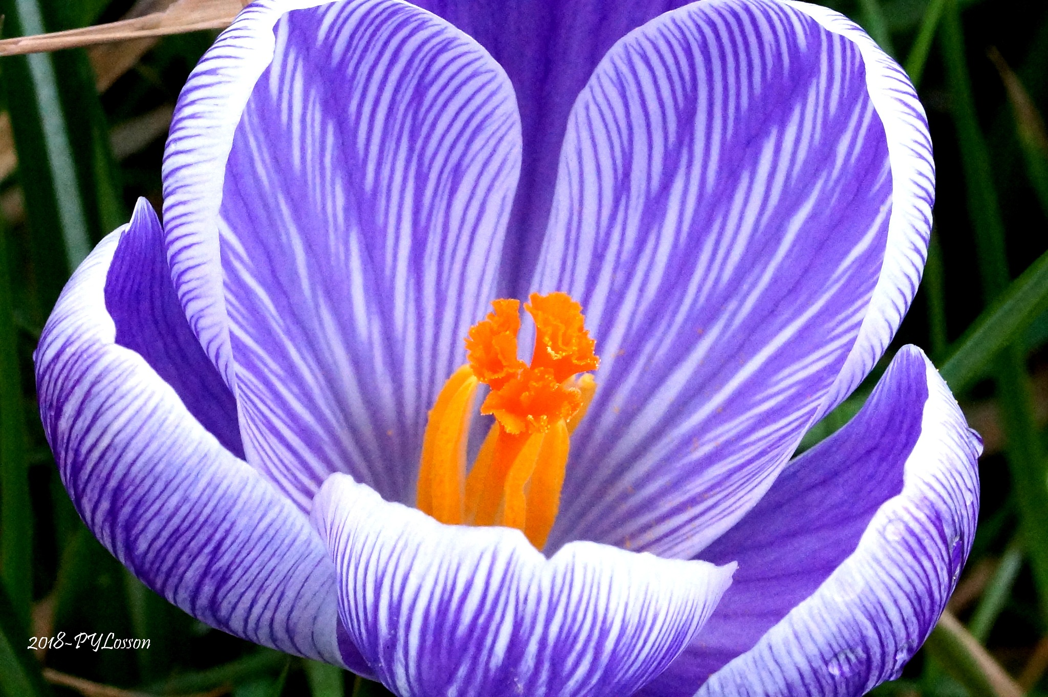 crocus by Pierre-Yves Losson