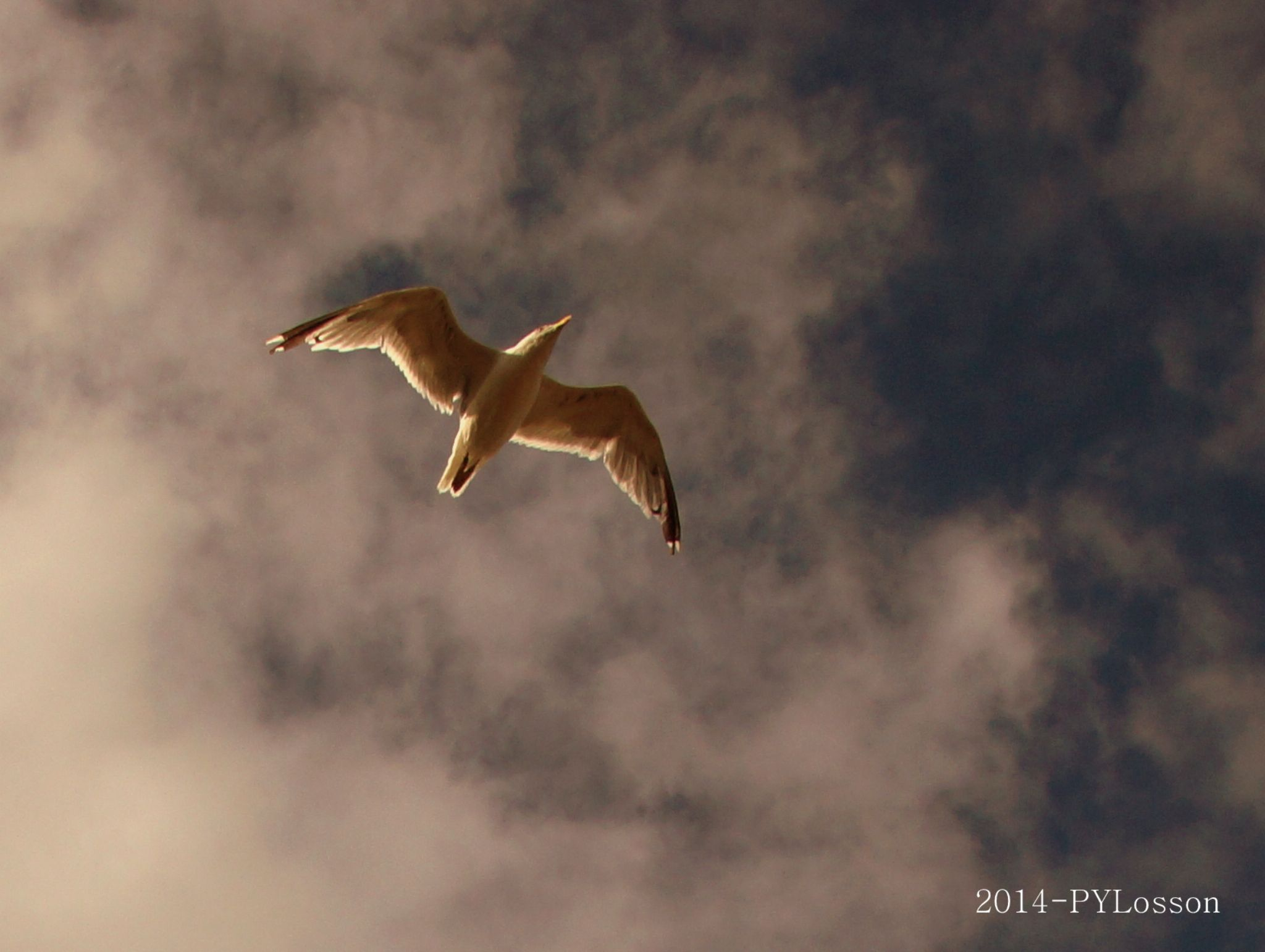Seagull and sunrise by Pierre-Yves Losson