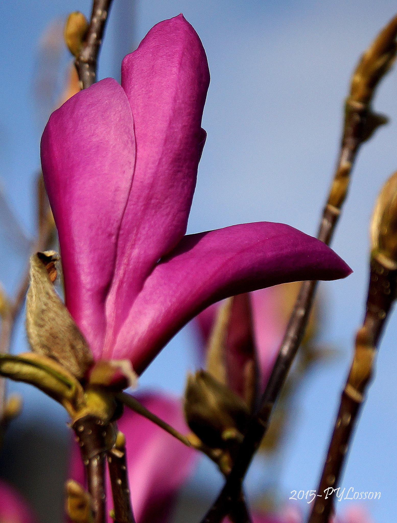 Magnolia by Pierre-Yves Losson