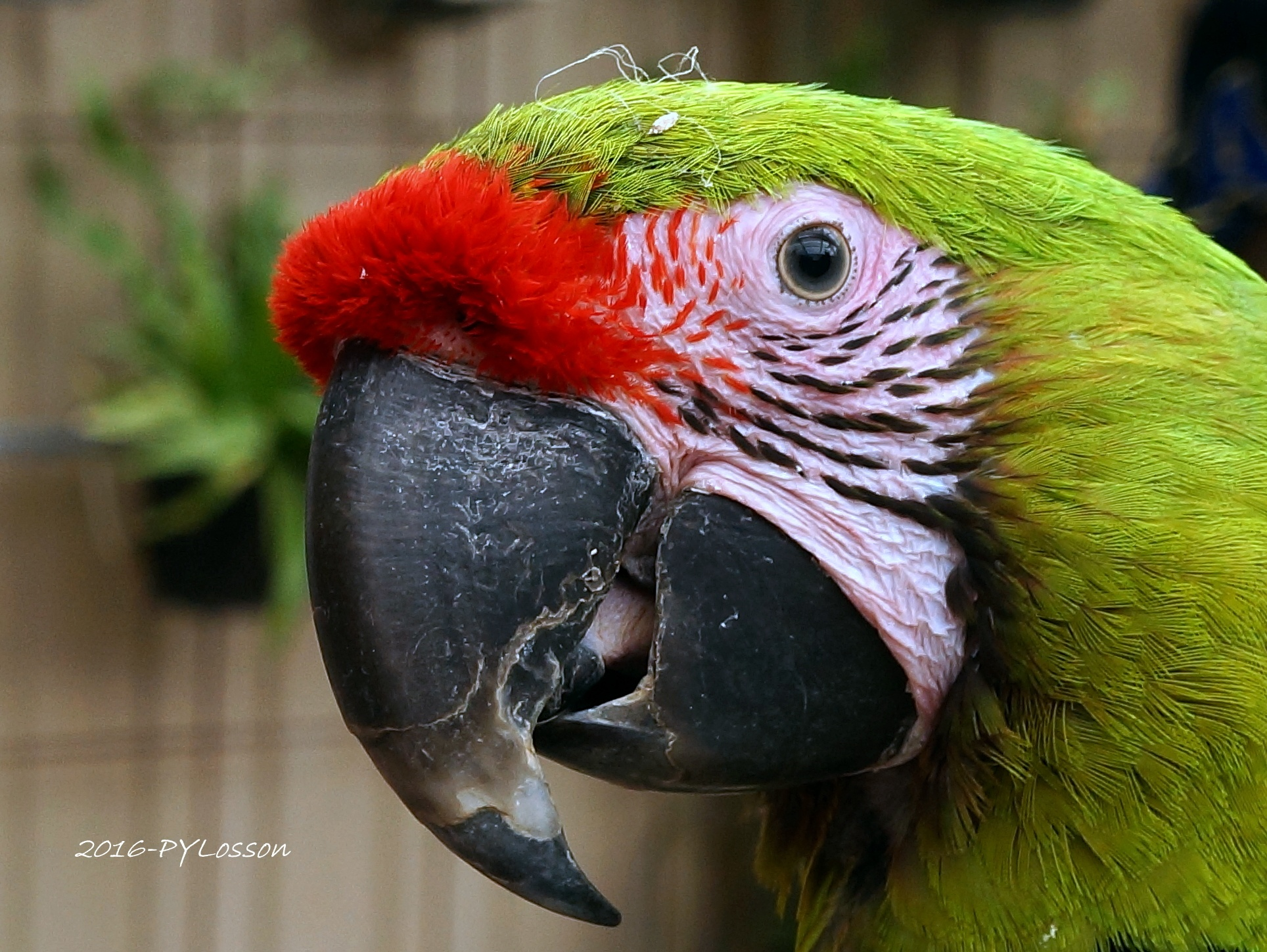 Parrot by Pierre-Yves Losson