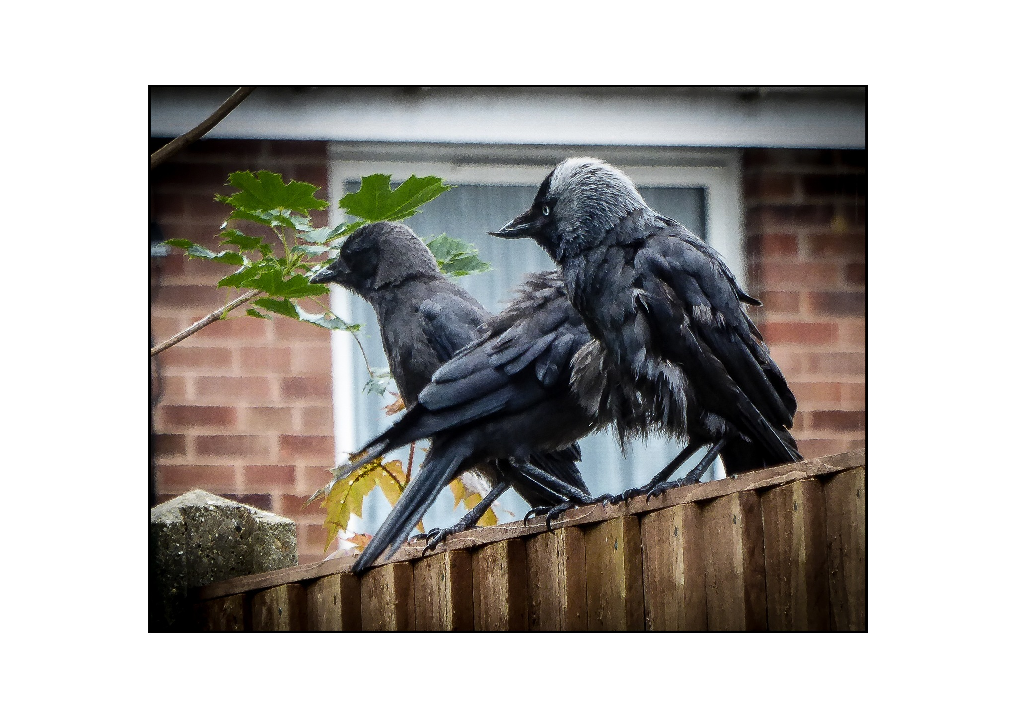 """a """"Clattering"""" of Jackdaws ?? by John Ponting"""